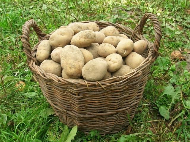 Все о белорусском картофеле Скарб