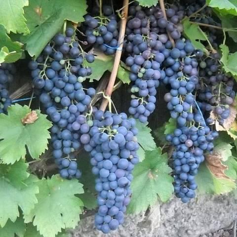 Виноград Саперави северный описание сорта, фото, отзывы