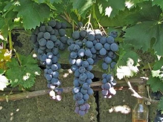 Виноград Страшенский описание сорта, фото, отзывы