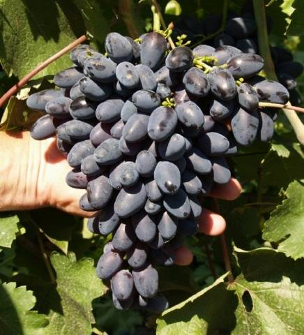 Виноград Атос описание сорта, фото, отзывы