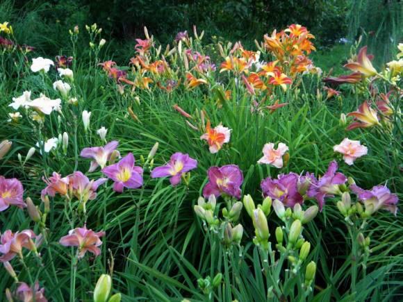 Цветы на клумбе названия