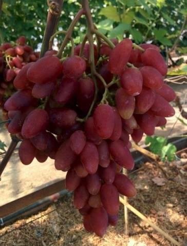 Виноград Дубовский розовый описание сорта, фото, отзывы