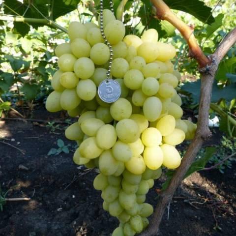 Виноград Благовест описание сорта, фото, отзывы