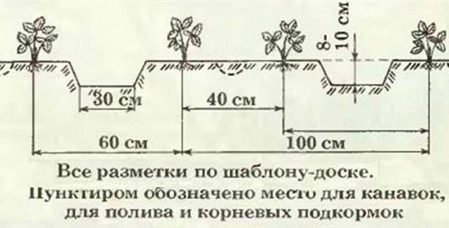 Земляника Александрия описание сорта, фото, отзывы