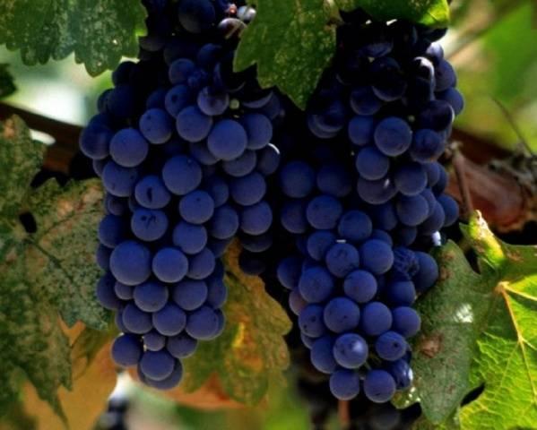 Виноград Альфа описание сорта, фото, отзывы