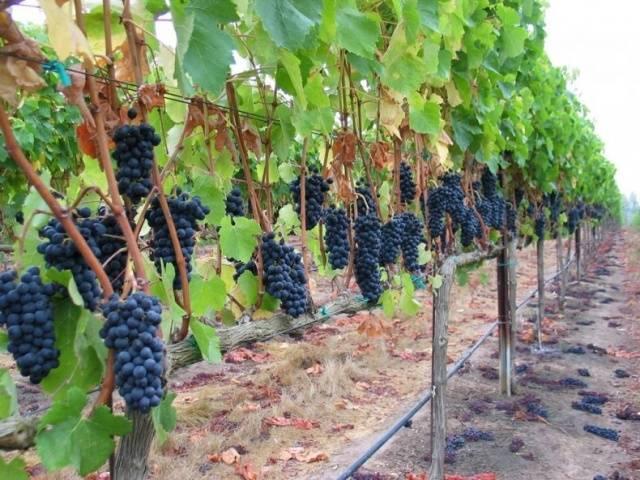 Виноград Кубань описание сорта, фото, отзывы