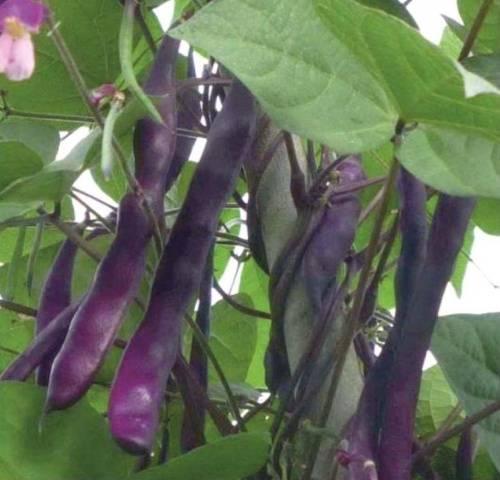 Декоративная фасоль вьющаяся фиолетовая
