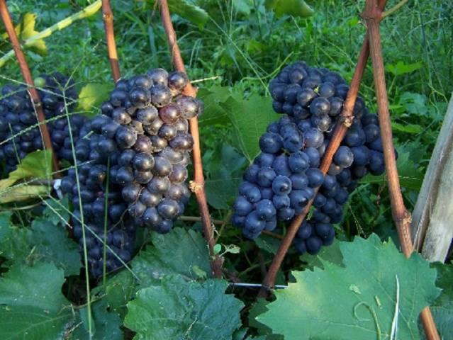 Виноград Шахтер описание сорта, фото, отзывы