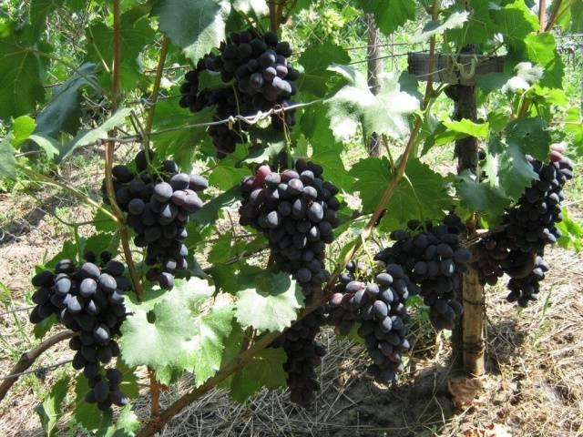 Виноград Забава описание сорта, фото, отзывы