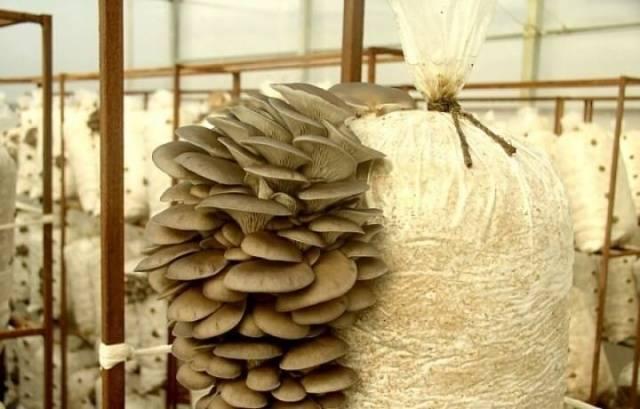 Изображение - Выращивание грибов вешенка 361_15