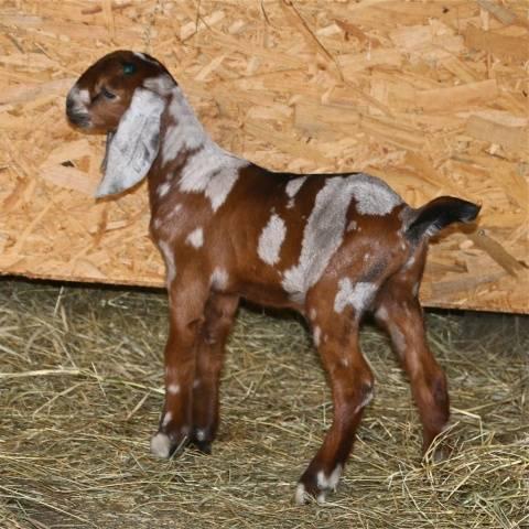 нубийские козы зимой