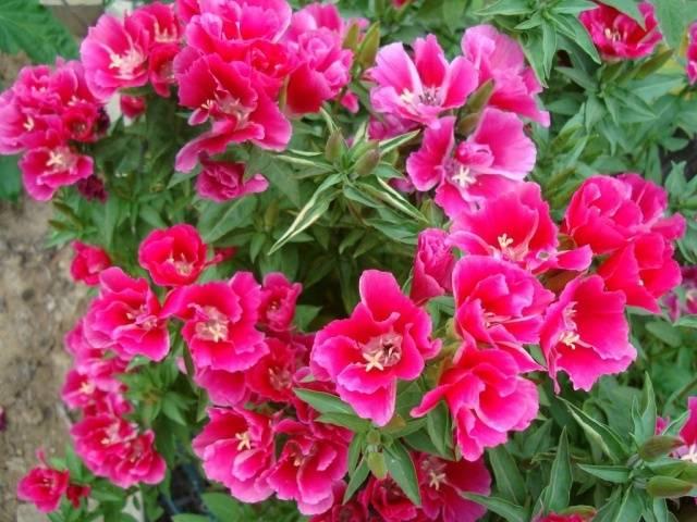 Годеция крупноцветковая выращивание из семян фото