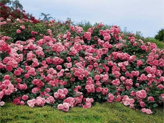 розы с другими цветами фото