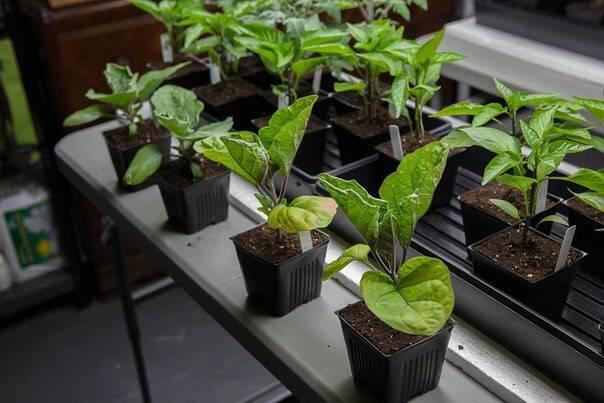 Как сажать баклажаны в открытый грунт рассадой