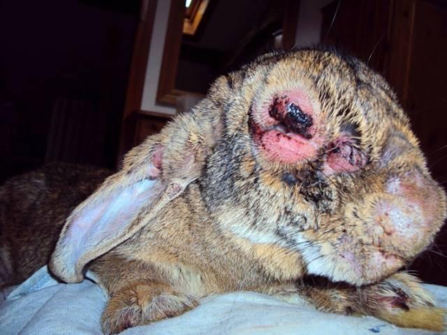 Лечение миксоматоза у кроликов в домашних условиях 769