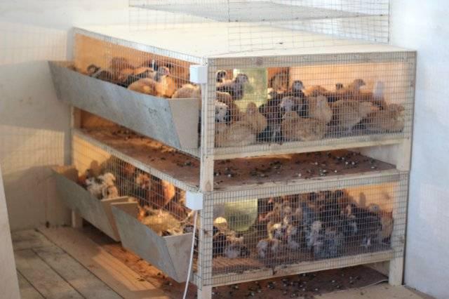Ящик для бройлерных цыплят