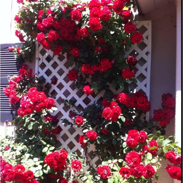 Роза дон жуан посадка
