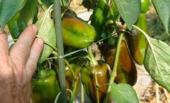 Что класть в лунку при посадке перцев в открытом грунте?