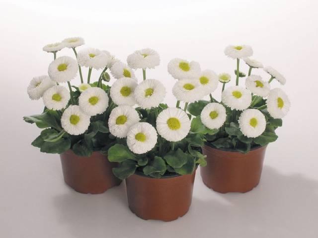 Какие есть сорта низкорослых цветов для клумбы: названия