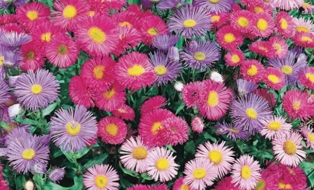 Багаторічні квіти для дачі фото