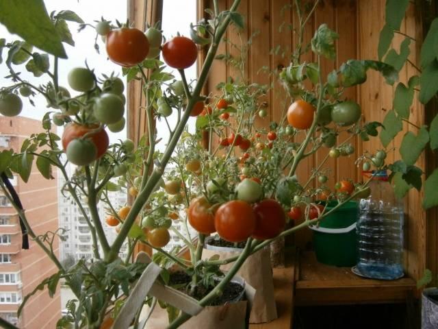 описание фото томат бенито