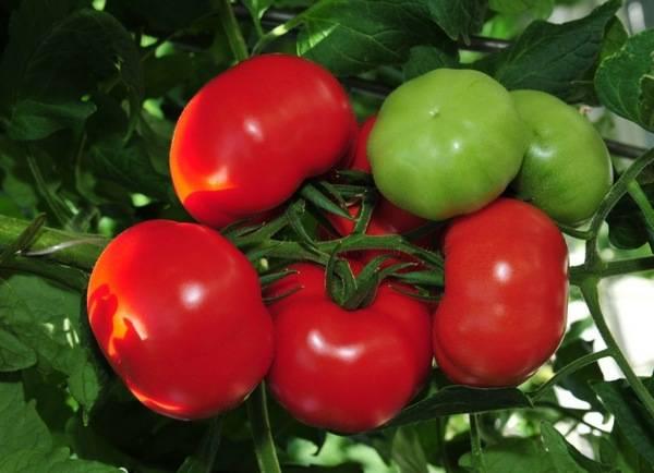 Лучшие семена томатов для теплицы из поликарбоната