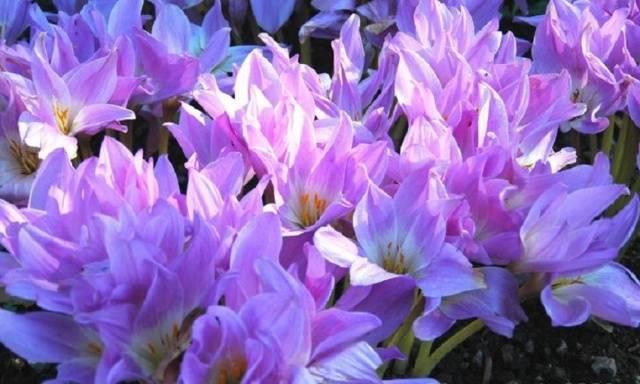 Луковичные цветы для открытого грунта