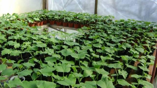Как сажать огурцы рассадой или семенами