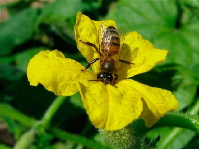 Можно ли пчелоопыляемый огурец выращивать в теплице?