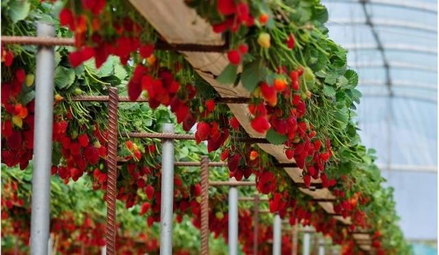 Выращивание клубники круглый год – бизнес на селе