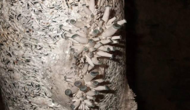 Изображение - Выращивание грибов вешенка 565_13