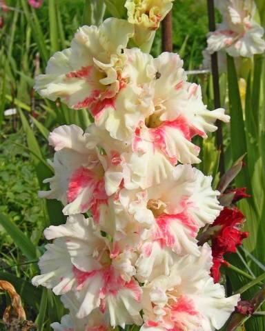Гладиолусы фото цветов, лучшие сорта