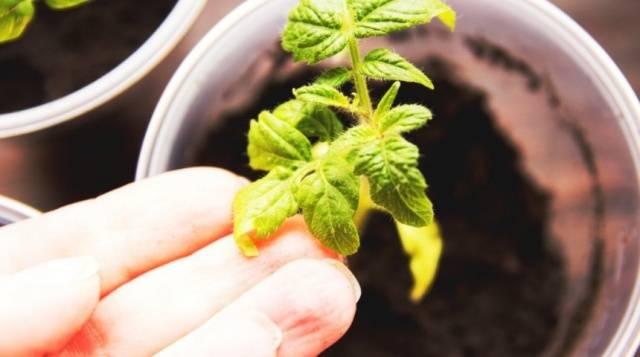 Что за болезнь рассады томатов 10