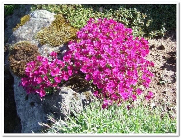 Многолетние низкорослые цветы цветущие