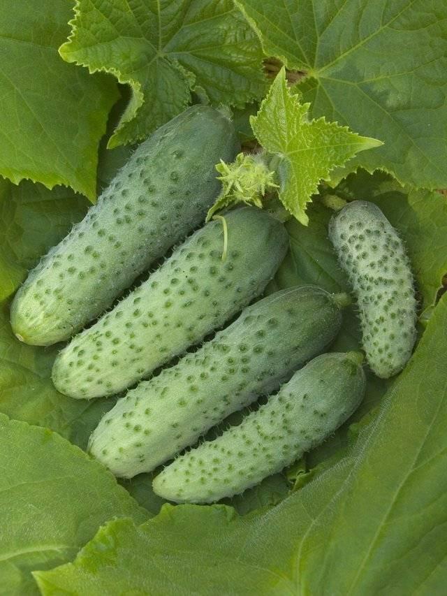Выращивание огурцов в теплице зимой