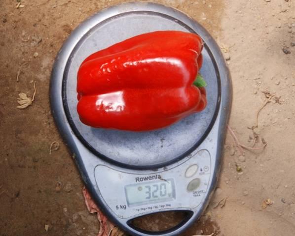 Лучшие сорта перца для теплицы с описанием и фото