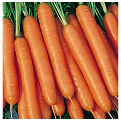 Лучшие сорта моркови для урала: посадка и уход