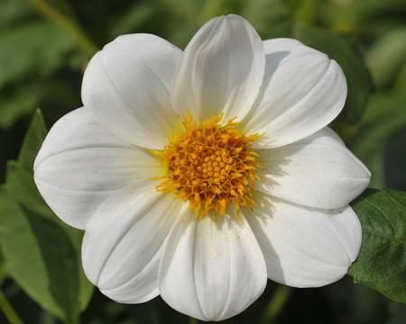 Белый цветок с желтой серединкой фото