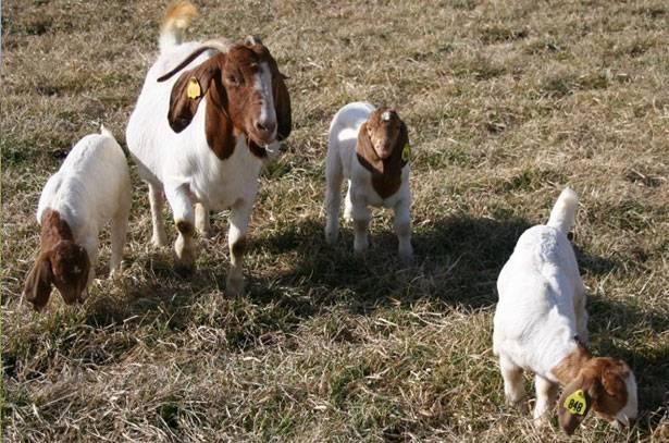 Бурские козы: описание породы фото