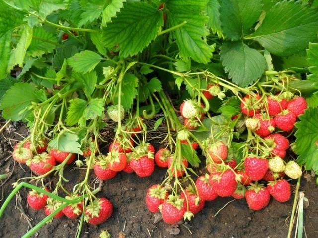 Чем удобрять клубнику в конце лета