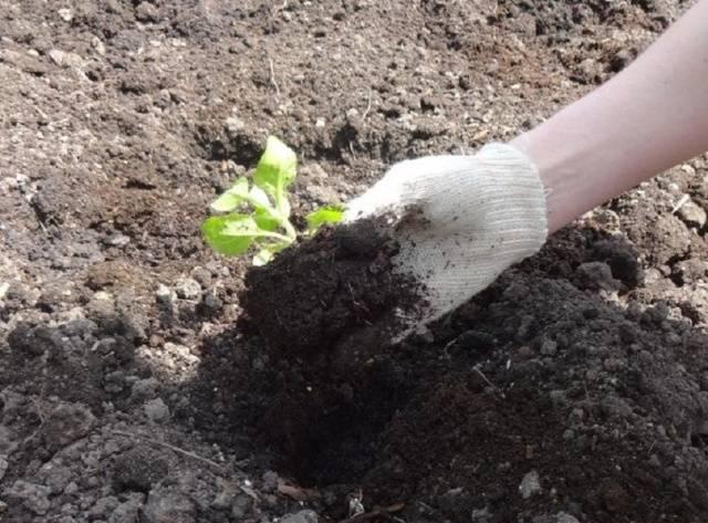 Когда сажать петунии весной в открытый грунт 18