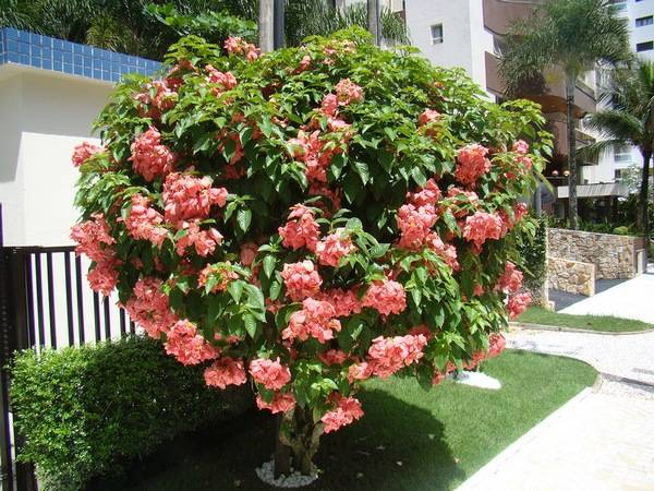 Цветы розы садовые: названия и 37