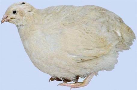 Техасский белый перепел