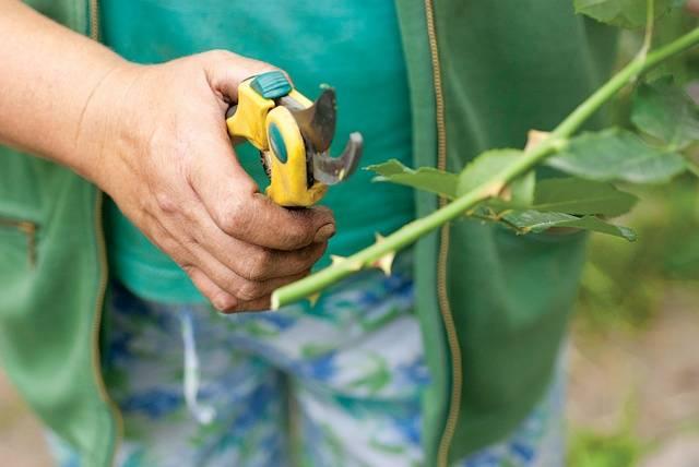 Розы почвопокровные посадка и уход в открытом грунте для новичков