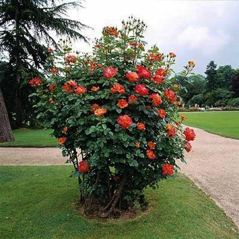Садовые кустарники фото с названиями по алфавиту