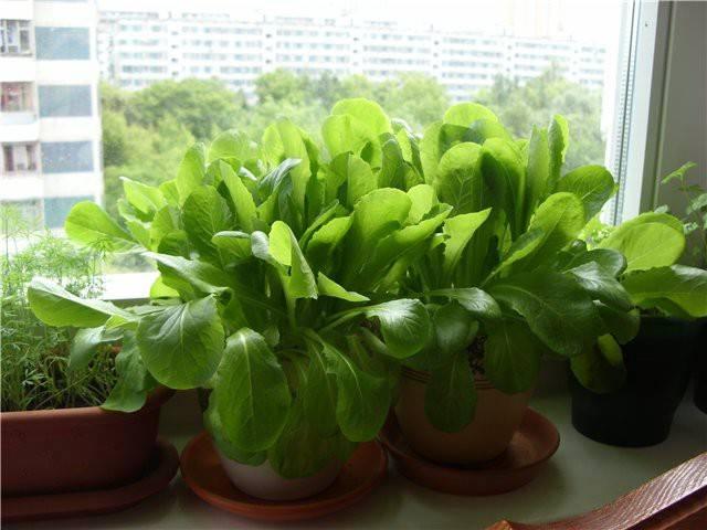 Как правильно выращивать зелень в домашних условиях зимой?