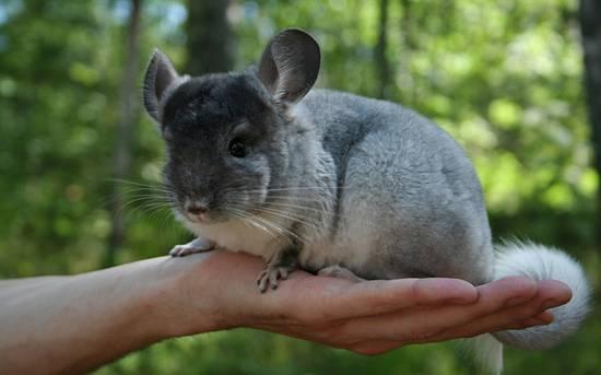 Кот порода кролик