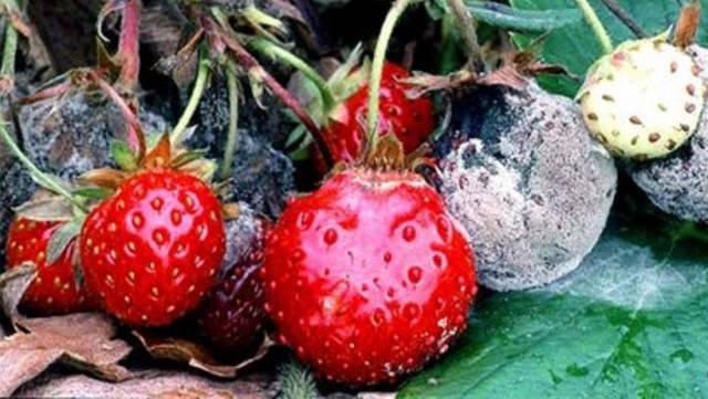 Болезни клубники ягод