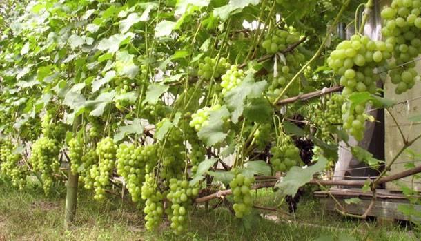 Виноград Лора описание сорта, фото, отзывы