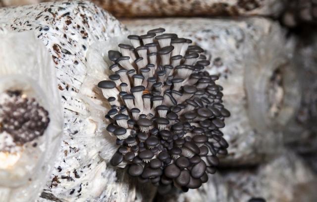 Изображение - Выращивание грибов вешенка 74_1